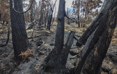 Fire-killed Pencil pines near Lake Mackenzie, 2016. Photo: Rob Blakers