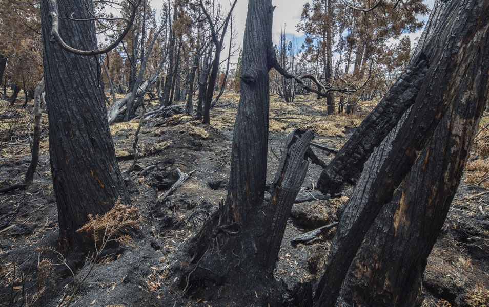 Fire-killed Pencil pines near Lake Mackenzie, 2016. Photo: Rob Blakers